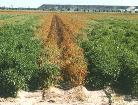 Chile Pepper and the Threat of Wilt Diseases
