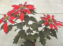Poinsettia: The Christmas Flower