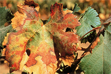 Symptoms of Pierce's disease in grapevines caused by Xylella fastidiosa.