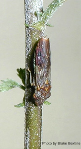 The glassy-winged sharpshooter leafhopper vector of Xylella fasidiosa