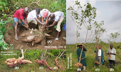 Cassava produces underground tubers that are used as a source of food and for other purposes.