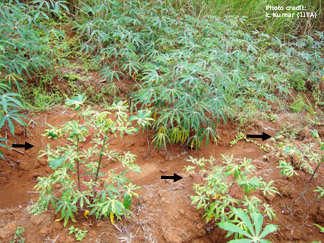 Cassava field with a mixture of healthy and infected plants.