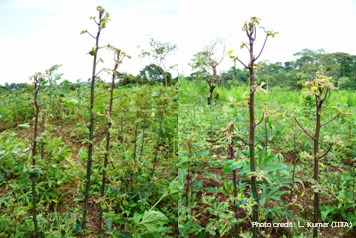 Cassava plant affected by an 'unusual' form of cassava mosaic disease (CMD).