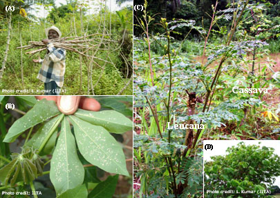 Cassava mosaic disease (CMD) is primarily spread through the dissemination of stem cuttings.