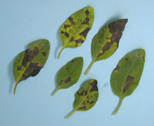 Vein-delimited angular lesions resulting from foliar nematode infection of Salvia sp.