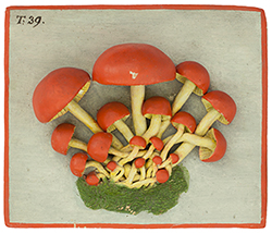 Hygrocybe coccinea, relief
