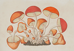 Hygrocybe coccinea, painting