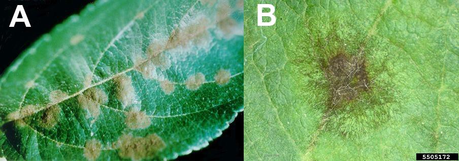 apple înfășurată de la varicoză salutări cu vene varicoase
