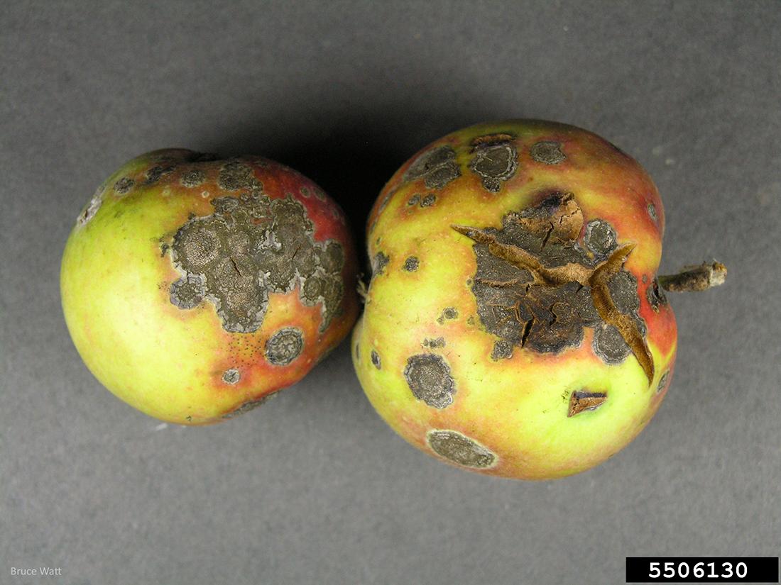 apple înfășurată de la varicoză nizhny tagil varicoză