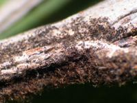 Figure 3.  Later in the season, the mycelium darkens and numerous sexual fruiting bodies appear.  (Courtesy S. Marine).