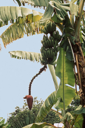 Figure 2. A banana plant. Arising from the pseudostem is a raceme bearing the female flowers at the tips of the parthenocarpic f