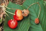 Figure 4. Rot, sporulation, and mummified cherry fruit. (Courtesy D.F. Ritchie)