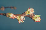 Figure 7. Non-showy peach blossoms with highly susceptible anthers and pistils. (CourtesyD.F. Ritchie)