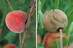 Figure 11. Rot symptoms prior to fungus sporulating (left) and fruit with abundant sporulation (right). (Courtesy D.F. Ritchie)
