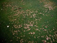 Figure 4. Individual dollar spots on a creeping bentgrass (Agrostis palustris) golf green. Notice the size difference in individual spots and the beginning of some coalescing dollar spots on the right hand size of the photo. (Courtesy P. Vincelli)