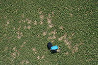 Figure 6. Individual dollar spots are more distinct on turf that is mowed at heights of roughly 9 mm (< 1 inch) as on this creeping bentgrass (Agrostis palustris).Dollar spots in this photo range in size from 2.5-7.5 cm (1.5 – 3 inches). (Courtesy L.L. Burpee)