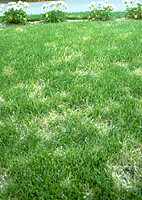 Figure 9. Individual dollar spots are less distinct on turf that is mowed at heights > 2.5 cm) (> 1 inch) as on this Kentucky bluegrass (Poa pratensis) lawn. (Courtesy P. Vincelli)
