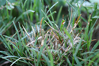 Figure 13. Aerial mycelium associated with dollar spot in bermudagrass (Cynodon dactylon). Mycelium can often be observed in the morning when leaves are wet from dew, rain or irrigation. (Courtesy L.L. Burpee)