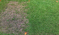 Figure 17. Dollar spot on Kentucky bluegrass (Poa pratensis) lawn. Note the grass that received fungicide treatment (right) (Courtesy F.T. Bennett)