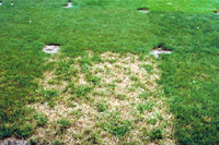 Figure 19. Variation in susceptibility to dollar spot among fine fescue (Festuca sp.) cultivars. (Courtesy F.T. Bennett).