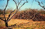 Figure 17. General damage from Leucostoma canker showing the large amount of dead wood that is removed from severely diseased orchard blocks. (Used by permission Alan R. Biggs).