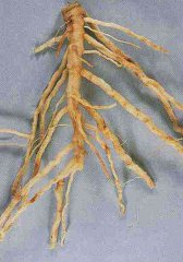 1. Melon roots infected with Monosporascus cannonballus showing lesions and loss of feeder roots.