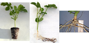 Watermelon seedling grown in traditional small transplants cell.  Note the lack of a taproot in both the seedling (middle) and the mature root from the field (right). (Courtesy R. Martyn)