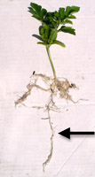Watermelon seedling from a Cone-Tainer showing a well-developed taproot (arrow). (Courtesy R. Martyn)