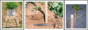 Watermelon plants growing in a raised bed with dual drip irrigation tapes (left) buried approximately 15 cm below the soil (middle). Watermelon root extracted from late in the season showing a well-developed taproot (right). (Courtesy R. Martyn)