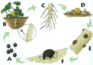 Disease cycle of Monosporascus root rot and vine decline