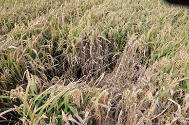 Rice Sheath Blight