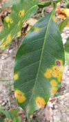 Figure 6. Coffee rust lesions often concentrate on the margins and tips of leaves. (Used by permission from H.D. Thurston)