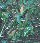 Figure 7. The infected leaves drop prematurely, leaving long expanses of twig devoid of leaves. (Used by permission from H.D. Thurston)