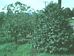 Figure 12. Susceptible Coffea arabica on the left; a resistant hybrid with C. canephora on the right. (Used by permission from H.D. Thurston)