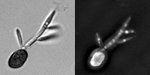 Figure 14. Teliospores germinate, form a septate promycelium, undergo meiosis, and form haploid sporidia that usually are uninucleate. The image on the right is stained with DAPI and Calcofluor, so nuclei and septa are visible. (Courtesy K.M. Snetselaar)