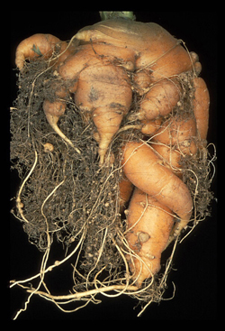 Figure 7. Carrot infected with Meloidogyne (the root-knot nematode)