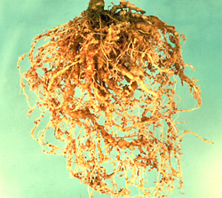 Figure 8. Tomato infected with Meloidogyne (the root-knot nematode)