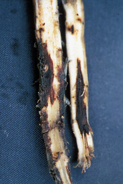 Figure 13. Lesions on banana roots caused by Radopholus, the burrowing nematode.
