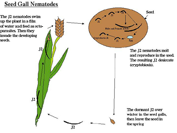 Figure 20. Life cycle of Anguina, the seed gall nematode.