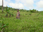 Figure 15. This field was planted with banana suckers infected by R. similis. Three years later, most of the plants were dead an