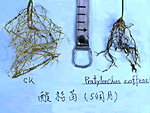 Figure 5. Healthy vs. lesion nematode-infected coffee roots systems. (Courtesy C. S. Huang, NemaPix)