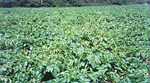 Figure 9. Potato early dying disease in field. (Courtesy R.C. Rowe)