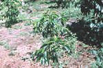 Figure 20. Pratylenchus coffeae damage to coffee trees. (Courtesy R. Lopez-Chavez, NemaPix)