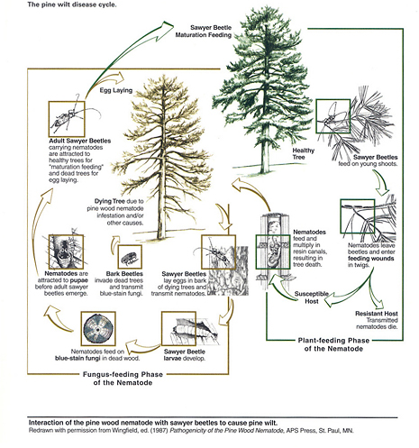 Figure 8. Life cycle of pine wilt disease illustrating propagative and dispersal stages of disease (Redrawn by permission from Wingfield, ed. (1987) Pathogenicity of the Pine Wood Nematode, APS Press, St. Paul, MN. (Courtesy N. Upchurch)