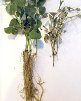 Figure 2. Pea plants showing symptoms of Aphanomyces root rot. Left : non-inoculated; Right: inoculated (T.J. Hughes)