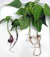 Figure 3. Bean plants showing symptoms of Aphanomyces root rot. Left: inoculated; Right: non-inoculated. (T.J. Hughes)