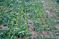 Figure 7. Alfalfa field infested with Aphanomyces euteiches. Note the abundance of weeds present due to lack of competition by s