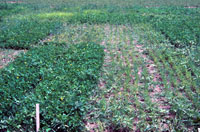 Figure 14. A demonstration of host specificity expressed by Aphanomyces euteiches. Field plot is infested with an alfalfa pathot