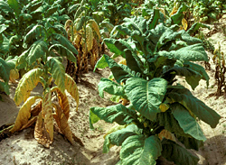 Figure 1. Symptoms of black shank on flue-cured tobacco with characteristic yellowing and wilting of leaves.