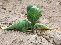 Figure 2. Symptoms of black shank on a young tobacco transplant. Note the wilting and yellowing of lower leaves.